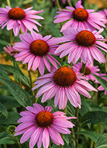 Piping Rock Echinacea Supplements